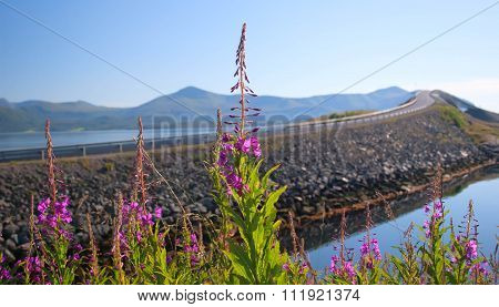 Norway. Willow-herb Flowers Against The Well-known Transatlantic Road In Summer Day