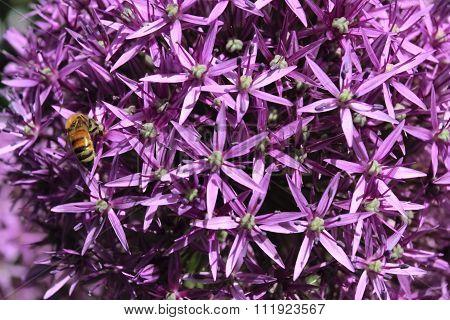 Purple Onion Flowers Background