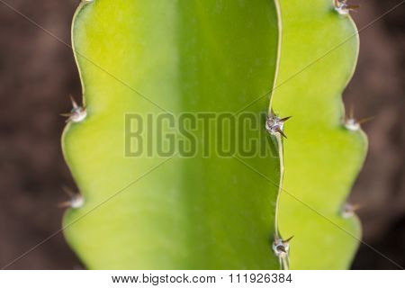 Cactus Plant Detail - Green Catus Macro