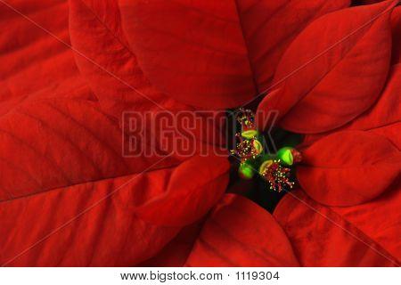 Poinsettia Macro
