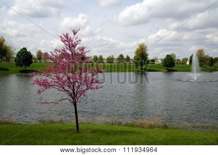 Redbud Blooming in Front of a Small Lake