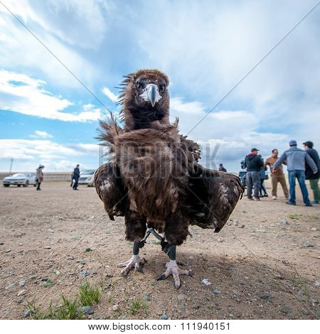 Mongolia - May 17, 2015: Specially Trained Eagle For Hunting In Mongolian Desert Near Ulaan-baator.
