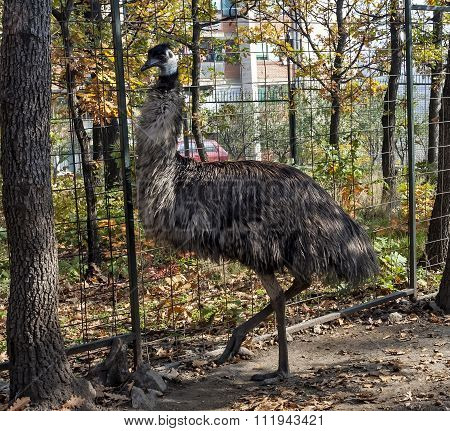 Emu Behind Fence In Cage 02