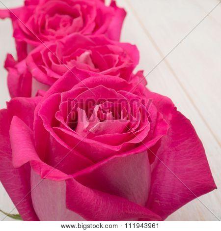 Pink Hybrid Tea Roses Closeup