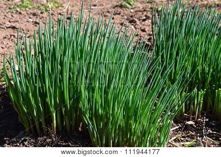 Onion Plant Feathers Vegetable