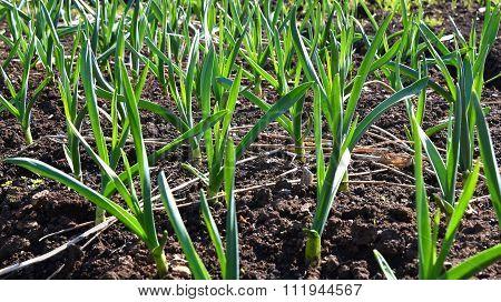 Garlic Plant Vegetable Garden
