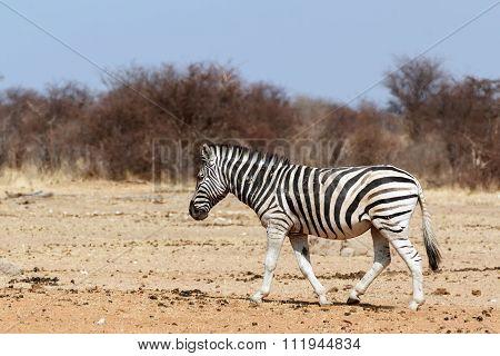 Zebra In African Bush