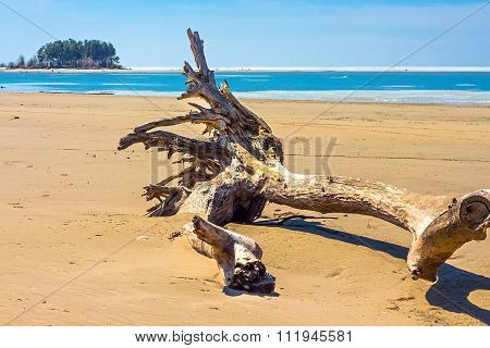 Old tree on the sandbank of the Ob River