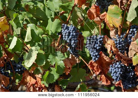 Grapes from Douro valley, Portugal