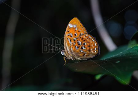 Orange Harlequin Or Larger Harlequin Butterfly