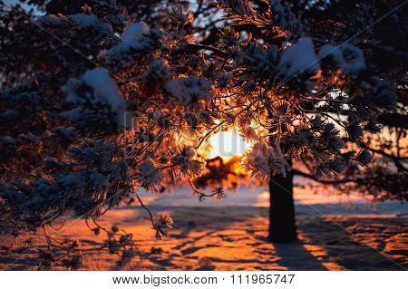 Winter background. A tree covered with frost, light penetrates through the branches of the sun.