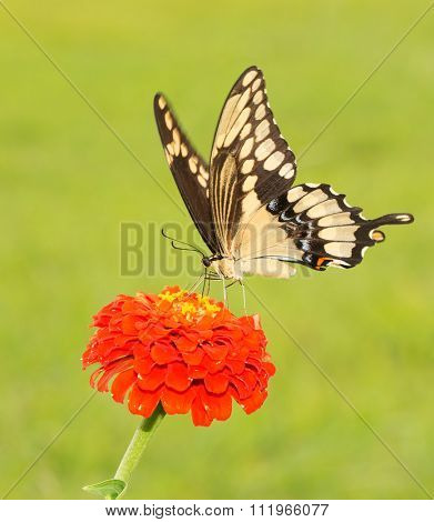 Giant Swallowtail butterfly, Papilio cresphontes on an orange Zinnia