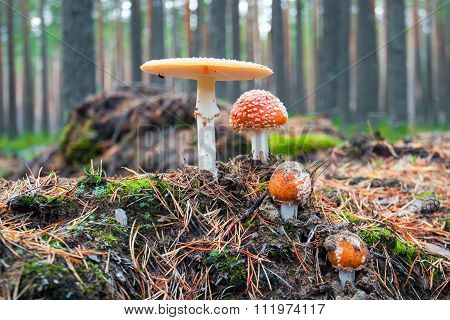 Fly agaric. Mushrooms toadstools in the forest.