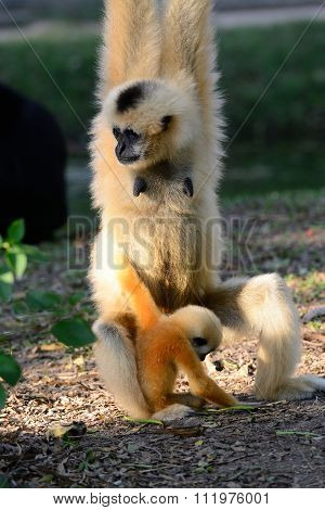 White-cheeked Gibbon (hylobates Concolor)