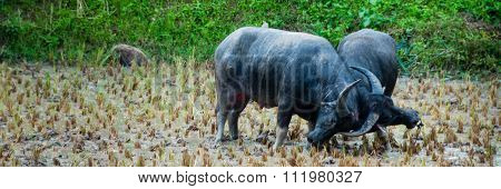 Two Carabao Buffalos Fighting in the Mud on a field of Tana Toraja
