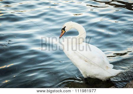 Swan with feet on water, Danube river, wien