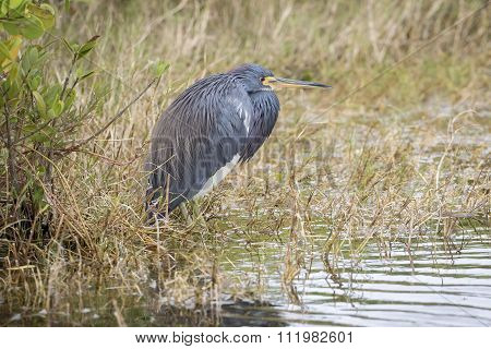 Tricolored Heron At The Edge Of A Florida Marsh