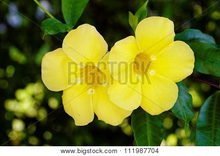 Pair of Yellow Trumpet Flowers on Vine