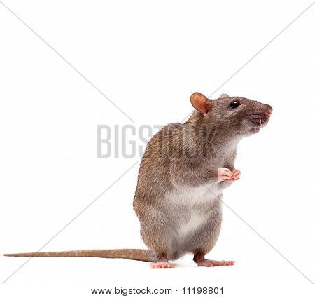 Cute Domestic Brown Rat