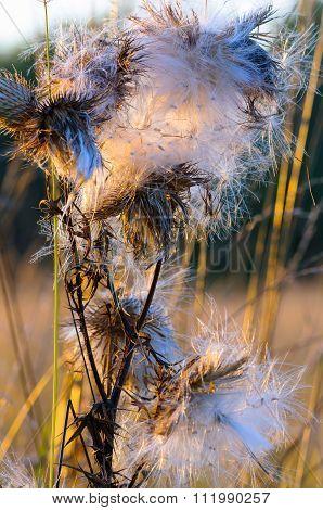Fluffy flower at sunset