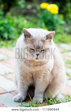 Sleepy Grey Cat Scottish Breed Sitting Outside House