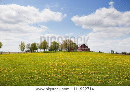 Yellow flowers in a field with a row of trees and red barn