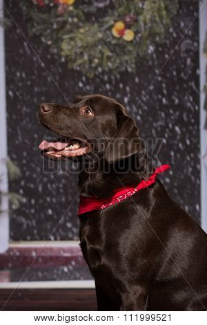 Chocolate Lab Red Bandanna Looking Away