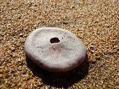 stock photo of sanddollar  - A sand dollar found on the beach - JPG