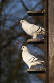 stock photo of pigeon loft  - white pigeons doves in dovecot czech republic - JPG