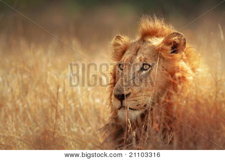 Big male lion lying in dense grassland - Kruger National Park - South Africa