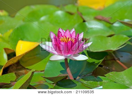 Brightly Pink Water Lily Among A Pond