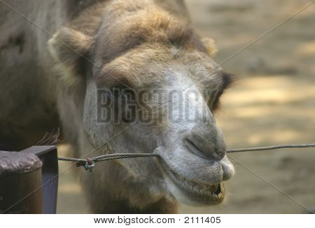Camel Chomping