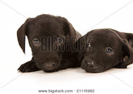 Cachorros de bachshund negro con mouthes desordenado abrazando, aislado en blanco