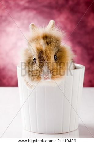 Dwarf Rabbit With Lion's Head