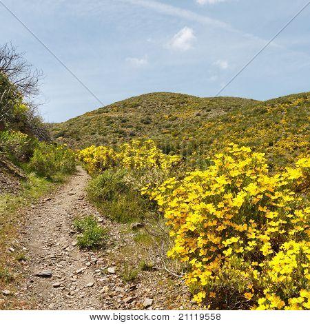 Desert Wildflowers In Anza-borrego Desert State Park