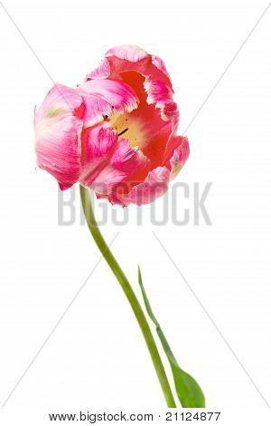 Pink Parrot Tulip Isolated On White