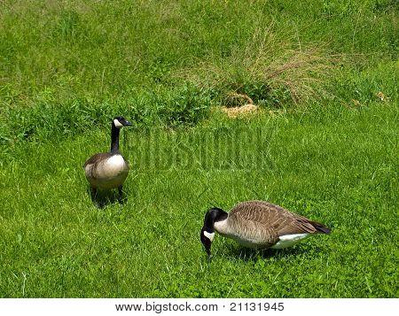 Dos gansos canadienses en un campo de hierba
