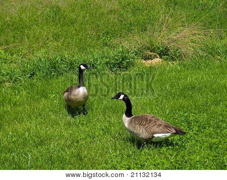 in einem grünen Feld zwei Gänse bernache Kanada