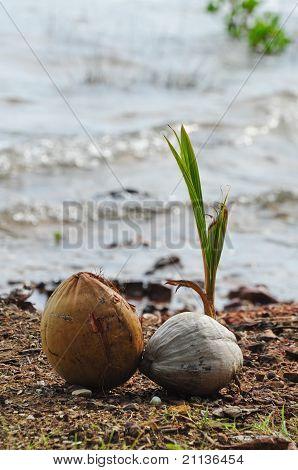 Brote de coco en la playa