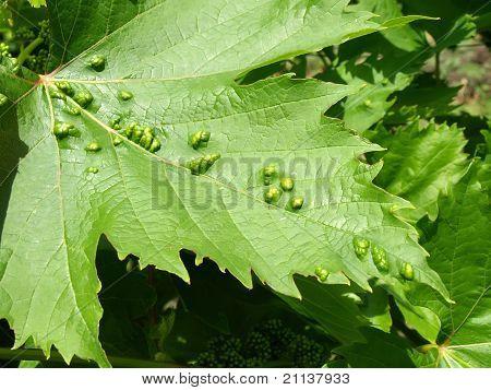 Pest Of Grape Vine Tick, Fitoptus