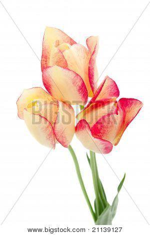 Yellow And Red Tulips Isolated On White.