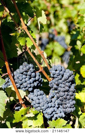 blue grape in Bordeaux Region, Aquitaine, France