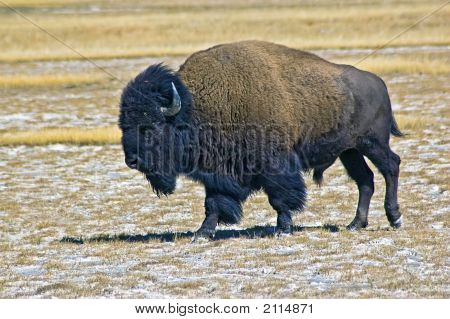 Buffalo In Field At Yellowstone