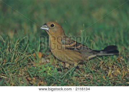 Blue Grosbeak   020J