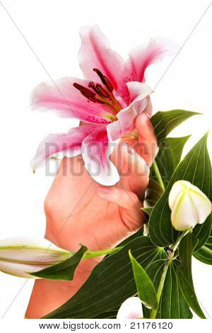 Woman hands with manicure and flower.  Isolated.