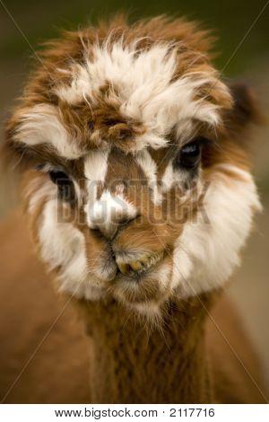 Alpaca Face Brown White Calico