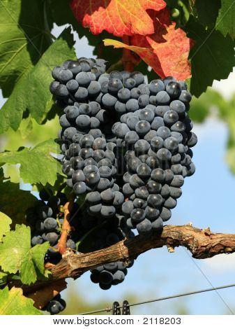 Ripe Grape Ready For Harvest