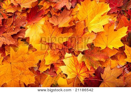 Background group autumn orange leaves. Outdoor.