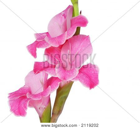 Gladiolas Isolated