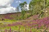 picture of digitalis  - Foxgloves  - JPG